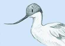 Avocet. Closeup. Purple